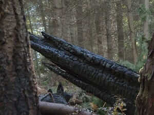 Charred tree remains caused by lightning strike